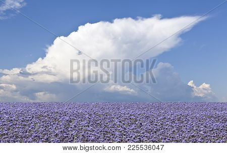 Fields Of Flax In The Landscape. Clouds In The Background.