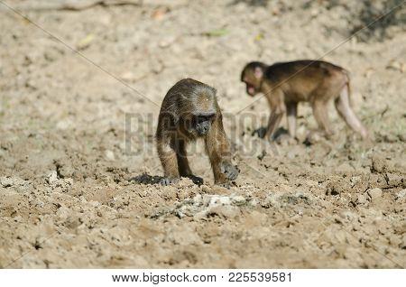 Stump-tailed Macaque (macaca Arctoides)