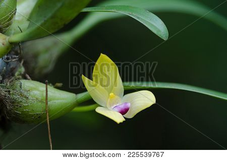 Rare Species Wild Orchids Bulbophyllum Sillenianum