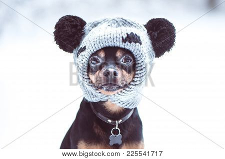 Funny Puppy, A Dog In A Winter Hat With Pumples In A Snowy Forest. Dog In Clothes ..