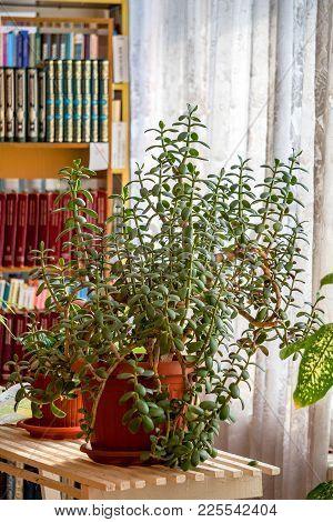 Houseplant Crassula On The Background Of Bookshelves. Money Tree - Crassula Ovata