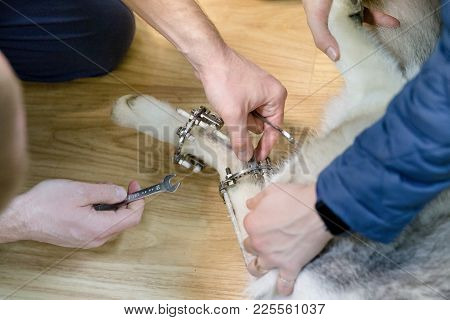 Veterinarian Makes Adjustments Dog With Broken Paw With External Ring Fixation Technique In Orthoped