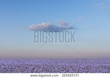 Fields Of Flax On The Ridge, Landscape. Evening Sky And Clouds In The Background.
