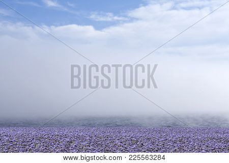 Fields Of Flax Close To The Sea. Foggy Coast In The Background.