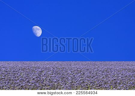 Flax Fields In The Farmland. Blue Sky And The Moon In The Background.
