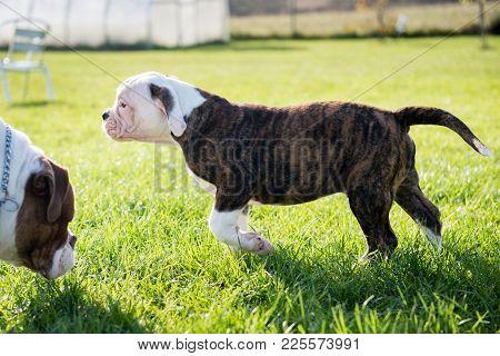 Funny Nice Tiger Coat American Bulldog Puppy Close Up Profile On Nature
