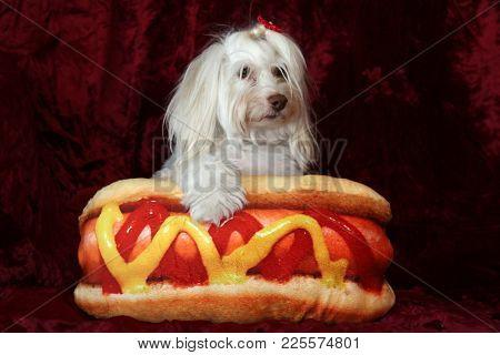 Funny portrait of a Maltese dog with her Hot Dog Pillow on burgundy red velvet