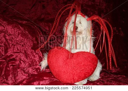 Maltese dog wears a silly hat with a valentines day heart on red burgundy velvet