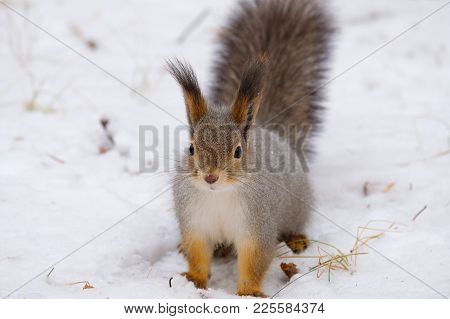 Snow Squirrel Sits And Looks Right In The Frame Russian Nature Winter Forest