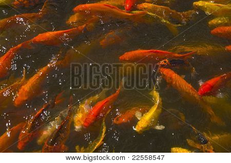 Overpopulated Koi Carps in a Park Pond - animal cruelty poster
