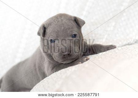 adorable grey thai ridgeback puppy portrait indoors