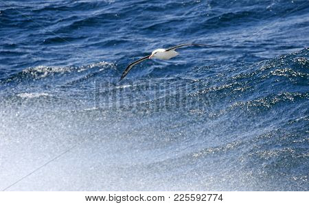 Black-browed Albatross Above The Surf. Cape Horn, Antarctica. Blue Ocean Background. South America