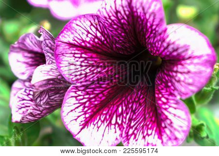 Closeup Of A White And Purple Morning Glory