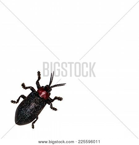 Six Legs Black And Red South American Beetle.