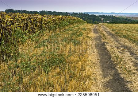 Late Summer In The Rural Moldavia, In The North East Of Romania. Fields Of Dry Sunflower