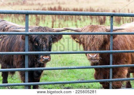 Two Curious Highland Scottish Hairy Red Cows With Big Horns Gazing At Summer Pasturage. Glasgow, Uk,