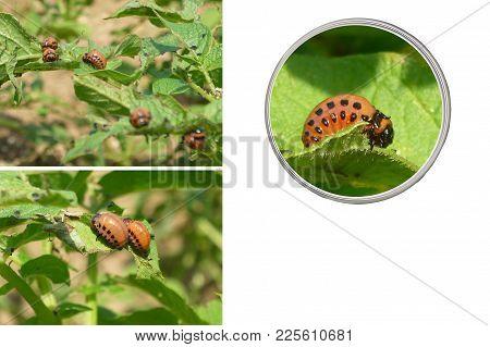Larvas Of A Colorado Potato Beetle - Pest On A Potato Plant. Background With Copy Space