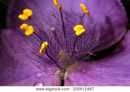 Purple (violet) Spring Flowers In A Garden. Purple (violet) Spring Flowers With Water Drops. A Close