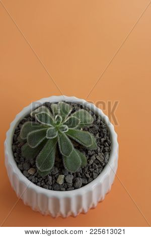 An Overhead Shot Of A Small, Fuzzy Echeveria Plant Against A Peach Colored Background.