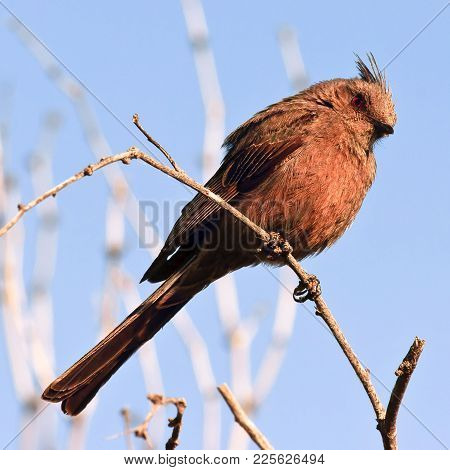 A Species Of Migratory Bird Called A Fly Catcher. This Female Fly Catcher Is Perched In A Tree In Ar