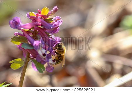 Honey Bee Collects Nectar And Pollen From Corydalis, Greek Korydal S Crested Lark. Honey Bee With Ye