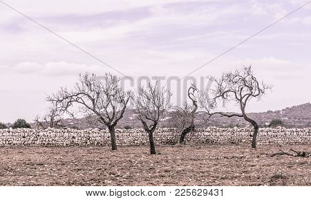 Four Almond Trees On Red Earth And With Drystone Wall Outside Santanyi, Mallorca In October. Mallorc