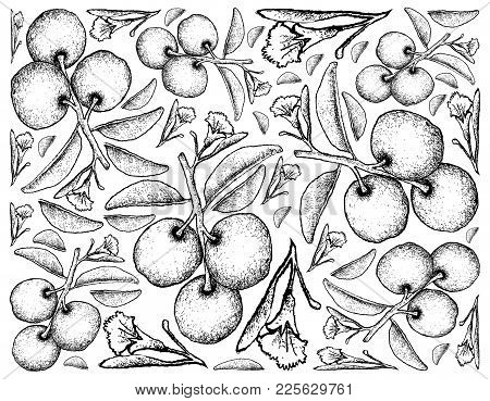 Fresh Fruits, Illustration Wall-paper Background Of Hand Drawn Sketch Fresh Tallow Plum Or Ximenia A