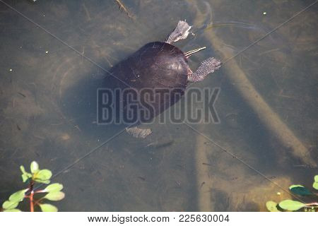 Little Red Slider Turtle Diving And Eating In Pond At Sliver Lakes Mobile Park In Indiana, Close Up