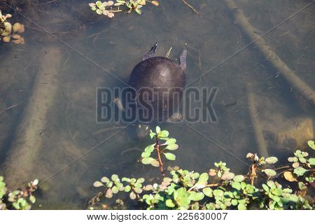 Little Red Slider Turtle Diving And Eating In Pond At Sliver Lakes Mobile Park In Indiana