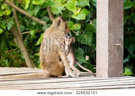 Monkey baby holding mother tightly on wooden board (Long-tailed Macaque, also called Crab-eating Macaque)