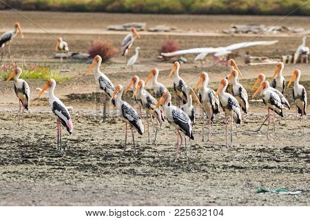 Flock of Painted stork large wader birds with yellow beak pink legs standing in wetland, Thailand, tropical Asia (Mycteria leucocephala)