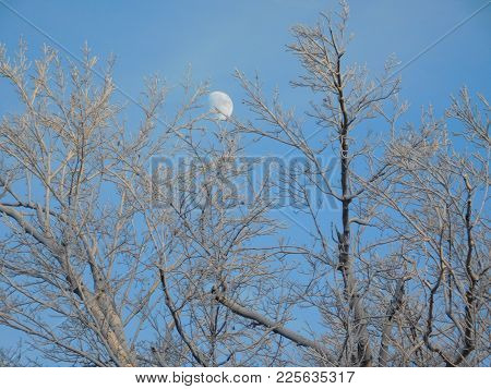 Daytime Rising Moon Peeking Over Winter Treetops
