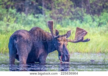 A Bull Moose Standing In The Lake In Early Morning. Ontario, Canada.