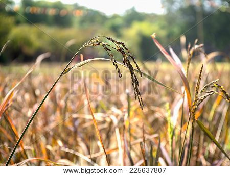 Close Up Ear Of Rice In Fields