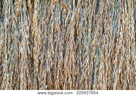 Dry Paddy Rice Seeds