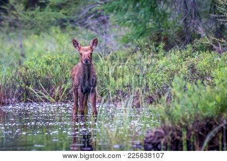 A Moose Calf Standing In The Marsh. Ontario, Canada.