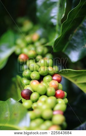 Close Up Of Green Coffee Beans On A Branch Of Arabica Coffee Tree, With Unripe Fruits ,thailand