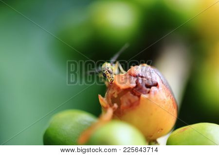 Close Up Of Insec Eating Berry Seed , Green Coffee Beans On A Branch Of Arabica Coffee Tree, With Ur