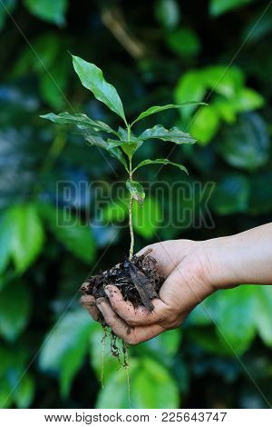 Close Up Of  Coffee Tree In Hand Of Farmer ,arabica Coffee Tree, With Ripe Fruits ,thailand