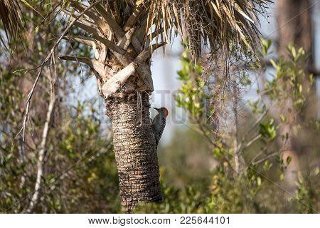 Red-bellied Woodpecker Melanerpes Carolinus