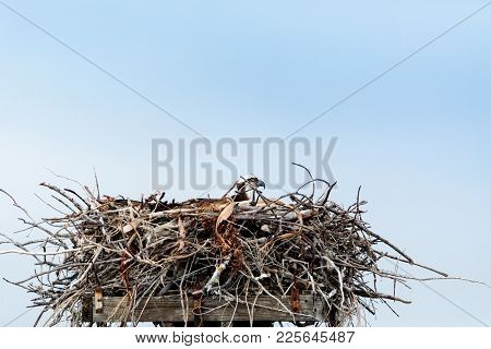 Osprey bird Pandion haliaetus perches in its nest high above a marsh in the Ding Darling National Refuge on Sanibel Island, Florida poster