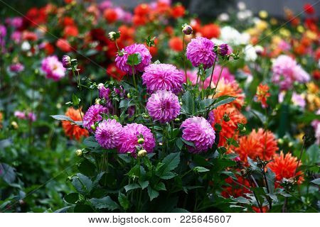In The Foreground A Bush A Dahlia With Lilac Flowers, On A Background A Collection Various Motley A