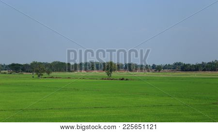 Rural Farmland. Rice Field In Thailand. Wet Paddy Field. Beautiful Trees In The Center.