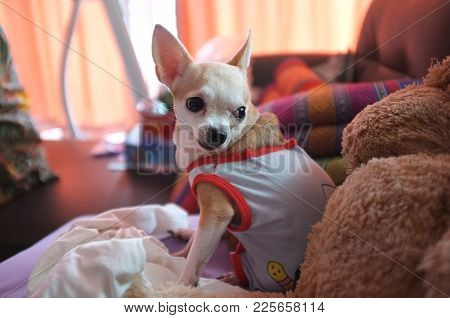 Cute White Chihuahua On Sofa , Feeling  Lonely , Waiting For Love