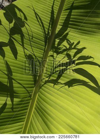 Banana leaf and silhouette