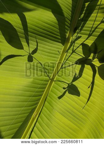 Banana leaf and leaves silhouette