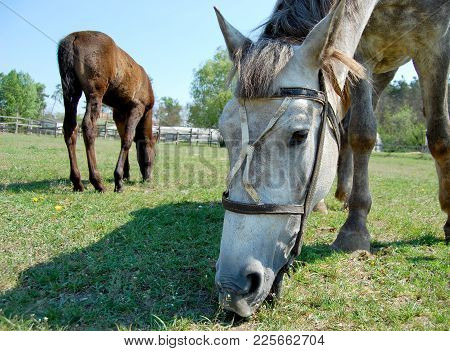 Muzzle Of A Horse Eating Grass Stables Summer