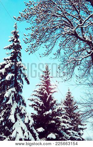 Branches And Top With Pine Cones And Spruce Branches Close Deciduous Tree With Snow