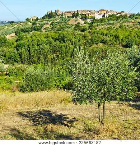 Tuscan Landscape With Olive Groves. Italian Medieval Town Skyline And Countryside Landscape With Oli
