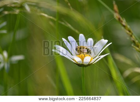 Close-up Bee On White Flowers With Yellow Stamens With Blurred Green Background